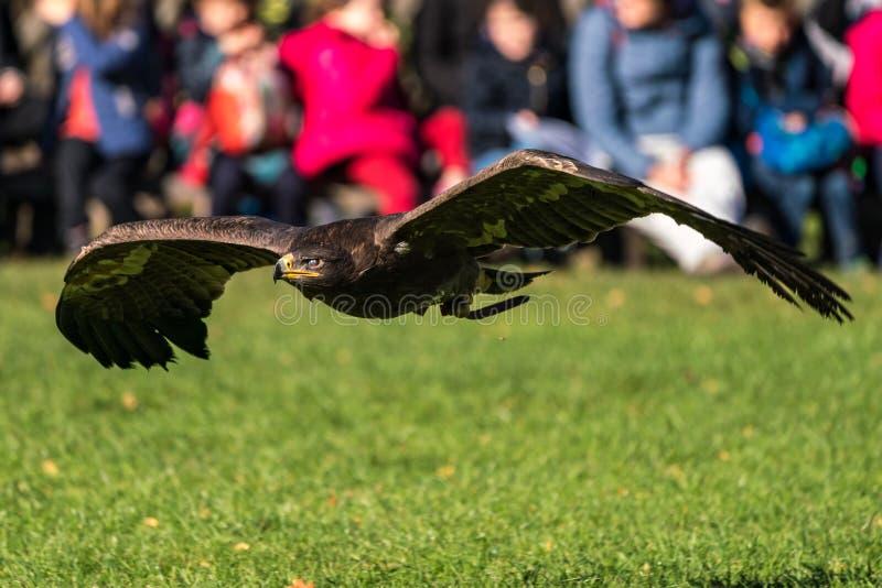 Γεράκι Harris, unicinctus Parabuteo, κόλπος-φτερωτό γεράκι ή σκοτεινό γεράκι στοκ φωτογραφία με δικαίωμα ελεύθερης χρήσης