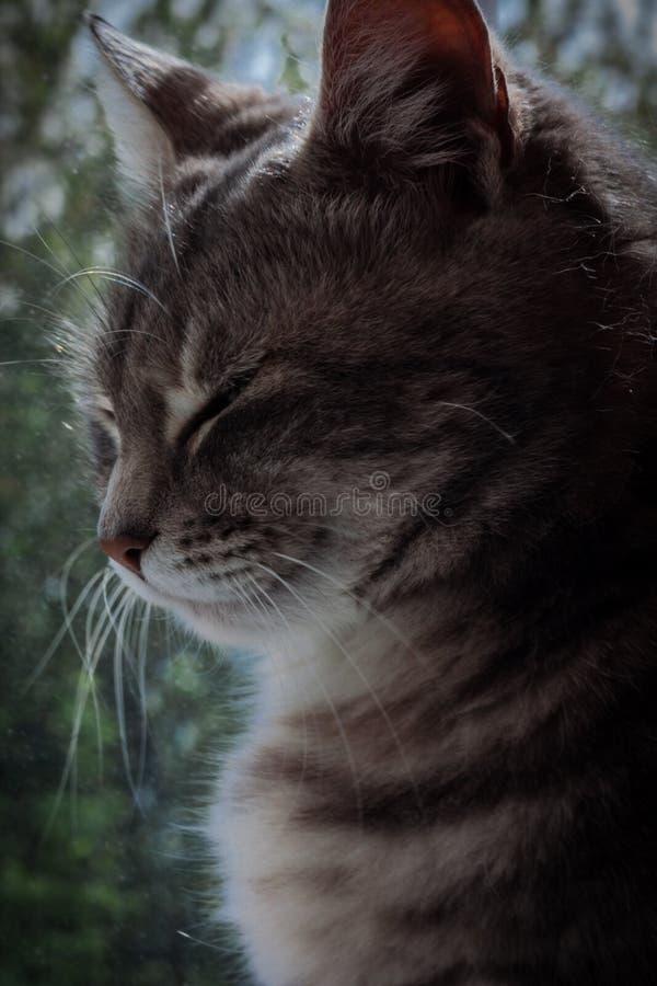 Γκρίζα τιγρέ γάτα κοντά στο παράθυρο στοκ φωτογραφίες