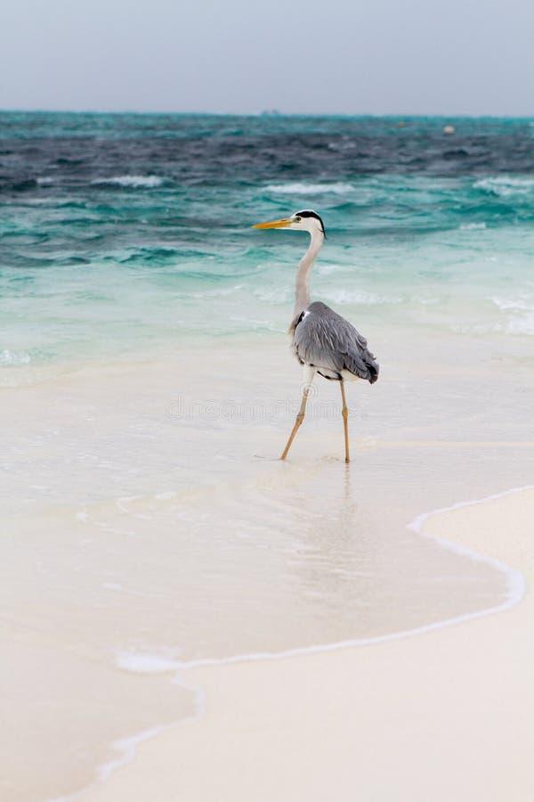 Γκρίζος ερωδιός στην παραλία στοκ εικόνα