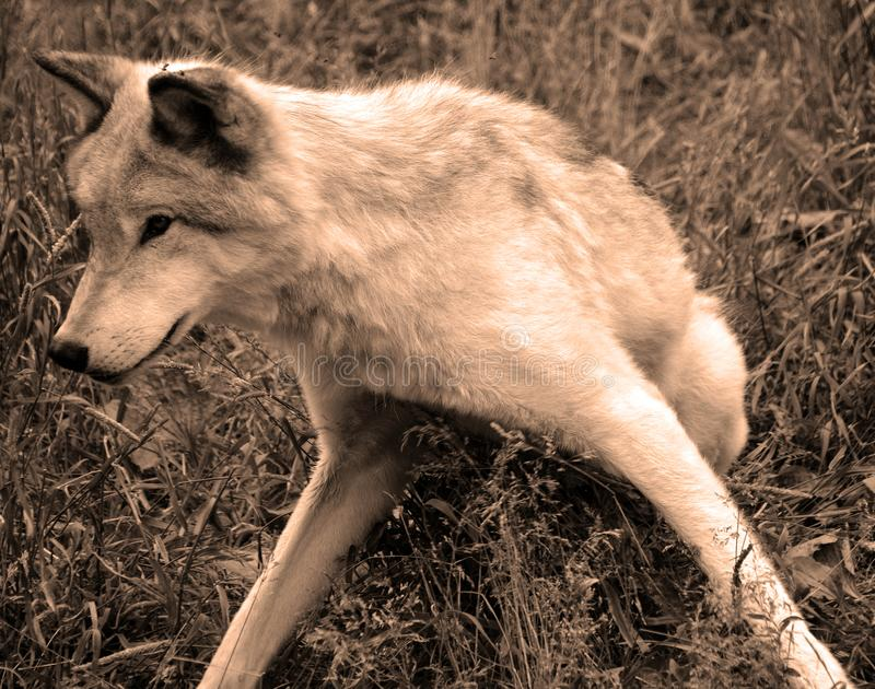 Γκρίζος λύκος ή γκρίζο lupu Canis λύκων στοκ φωτογραφία με δικαίωμα ελεύθερης χρήσης