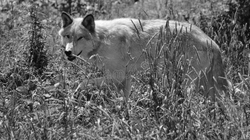 Γκρίζος λύκος ή γκρίζο lupu Canis λύκων στοκ εικόνες