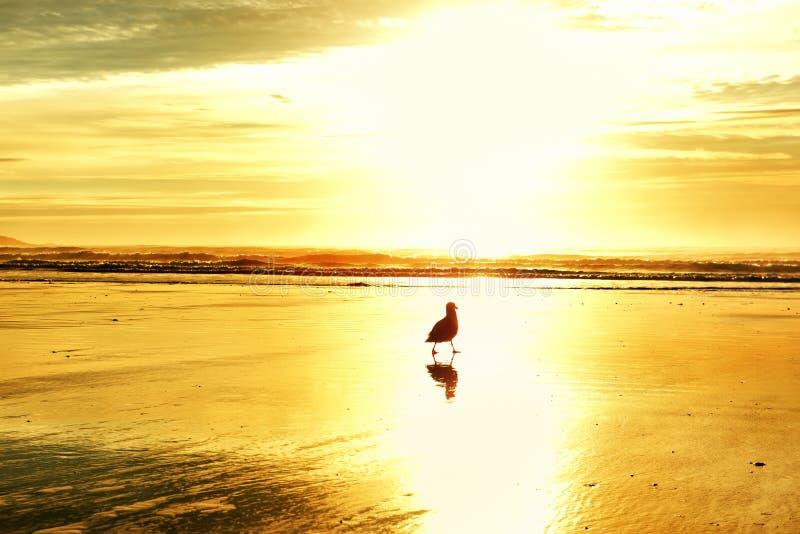 Γλάρος πουλιών στις ακτίνες ενός χρυσού ήλιου στην αμμώδη παραλία του Ατλαντικού Ωκεανού στοκ εικόνες με δικαίωμα ελεύθερης χρήσης