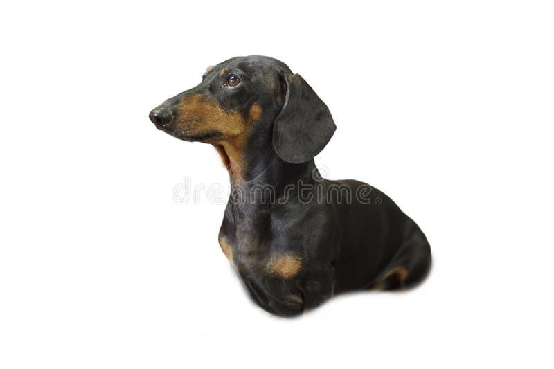 Γλυκό μαύρο και σκυλί Duchshund μαυρίσματος που απομονώνεται στα άσπρα ρολόγια υποβάθρου επάνω Έξυπνος και προσεκτικός κοιτάξτε στοκ φωτογραφίες