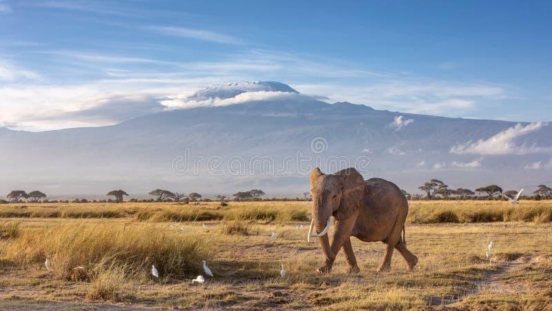 Ελέφαντας και όρος Κιλιμάντζαρο στοκ φωτογραφία