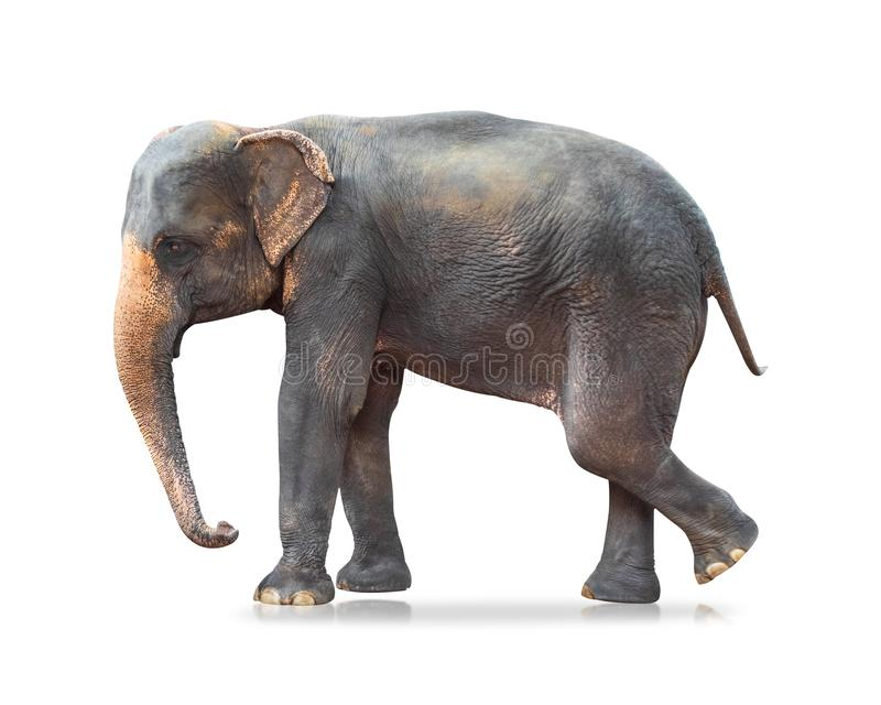 Ελέφαντας που απομονώνεται στο άσπρο υπόβαθρο Μεγάλα θηλαστικά Ψαλιδίζοντας μονοπάτι στοκ φωτογραφίες με δικαίωμα ελεύθερης χρήσης