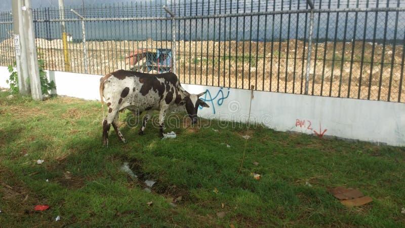 Εμπλεγμένη αγελάδα στοκ φωτογραφίες με δικαίωμα ελεύθερης χρήσης