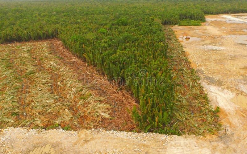 Εναέρια άποψη - αποδάσωση Nipa, τροπικό δάσος ελών μαγγροβίων του Μπόρνεο στοκ φωτογραφίες με δικαίωμα ελεύθερης χρήσης