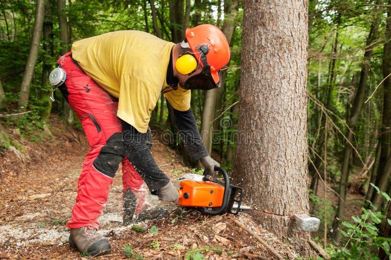 Εργαζόμενος δασονομίας που εφαρμόζει μια περικοπή στο κομψό δέντρο που χρησιμοποιεί το αλυσιδοπρίονο στοκ φωτογραφίες