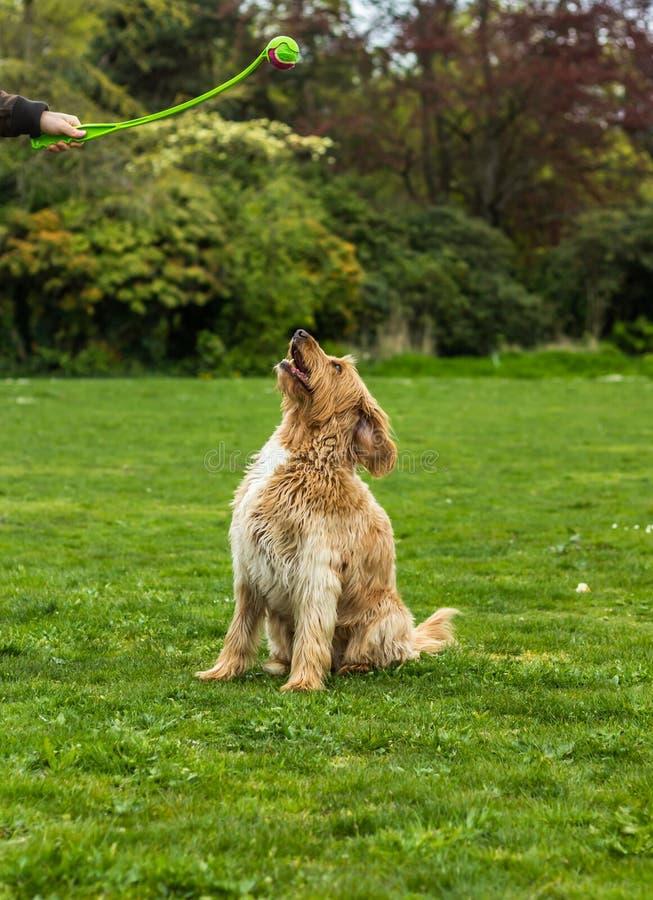 Ευτυχές σκυλί Labradoodle σε έναν χλοώδη τομέα που κοιτάζει επίμονα επάνω σε μια σφαίρα στοκ φωτογραφίες
