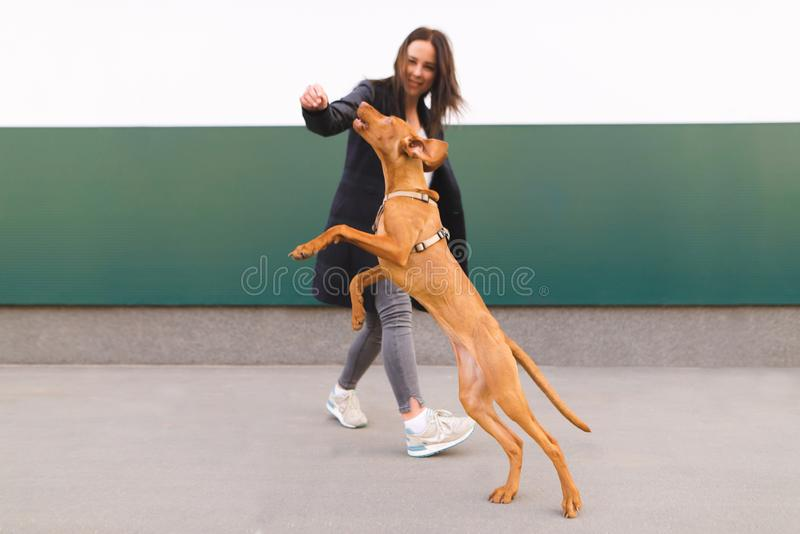 Ευτυχές παιχνίδι σκυλιών και ιδιοκτητών στα πλαίσια του τοίχου άλματα σκυλιών υψηλά πίσω από το χέρι του κοριτσιού στοκ εικόνα