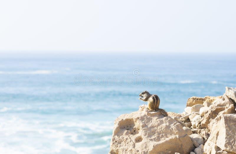 Επίγειος σκίουρος Fuerteventura στοκ εικόνες με δικαίωμα ελεύθερης χρήσης