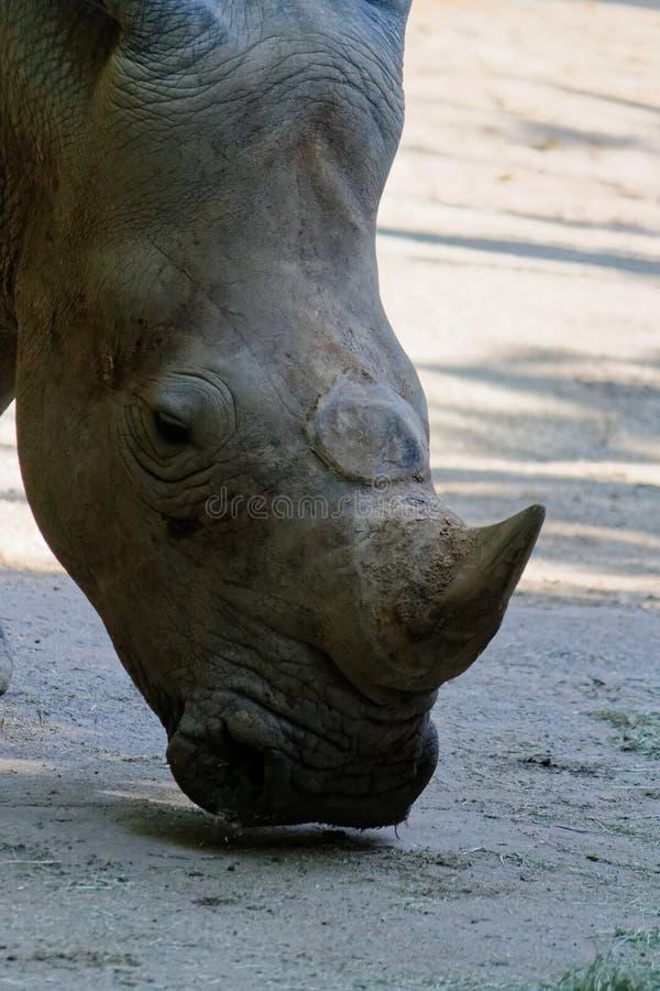 Επικεφαλής αυτός κερασφόρος άσπρος ρινόκερος, τετραγωνικός-χειλικός ρινόκερος στοκ εικόνες