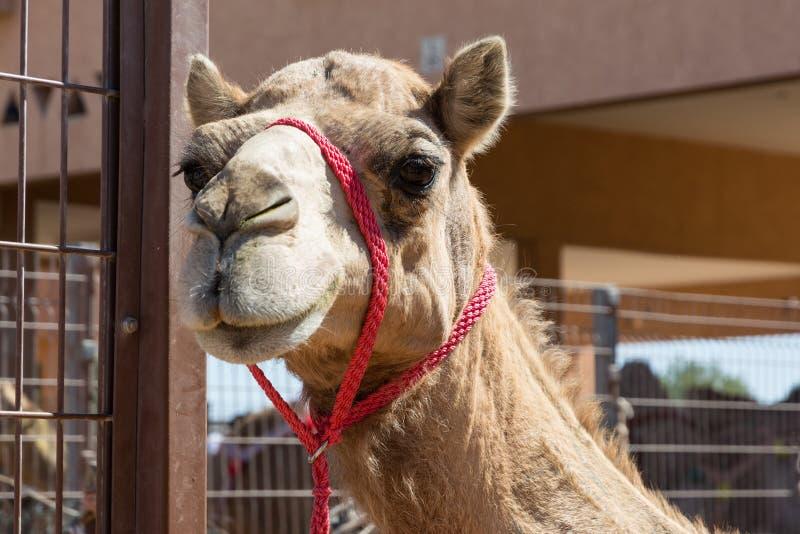 Επικεφαλής της καμήλας με το κόκκινο halter στοκ εικόνα