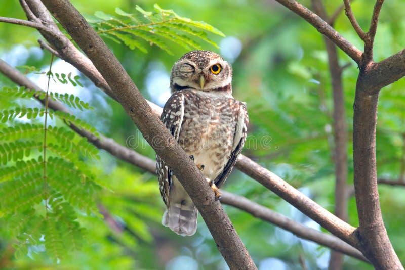 Επισημασμένα όμορφα πουλιά brama Athene owlet της Ταϊλάνδης στοκ εικόνα
