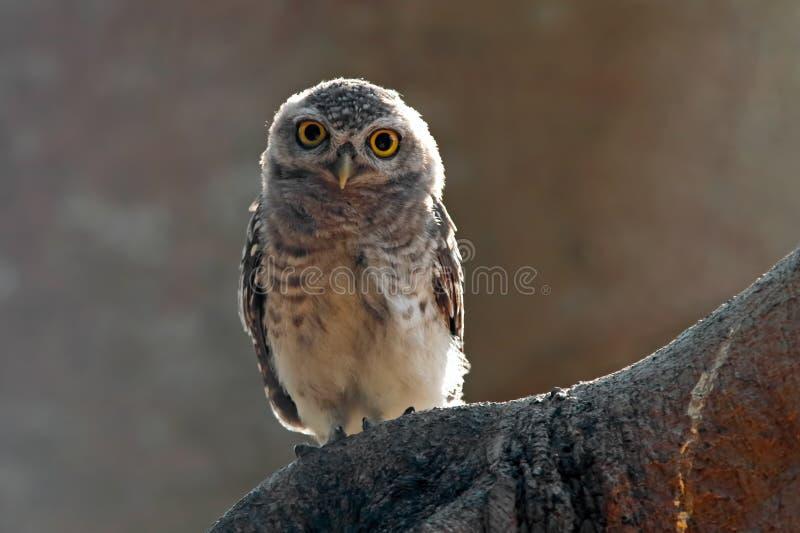 Επισημασμένα όμορφα πουλιά brama Athene owlet της Ταϊλάνδης στοκ φωτογραφίες με δικαίωμα ελεύθερης χρήσης