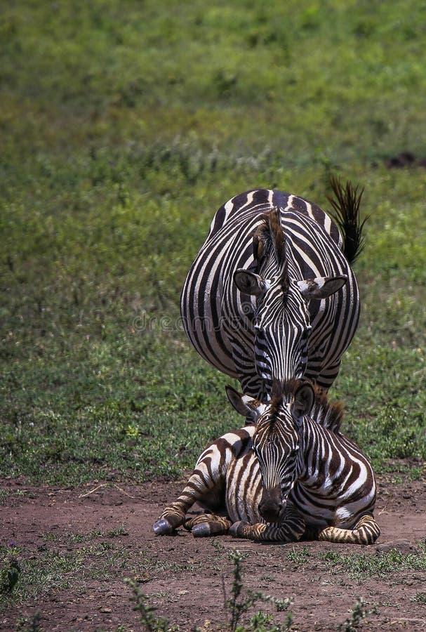 Ζέβες foal βάζει στο έδαφος με τη μητέρα που στέκεται πίσω στοκ εικόνες με δικαίωμα ελεύθερης χρήσης