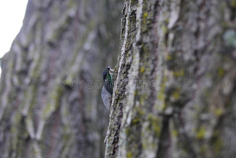 Ζήστε Cicada που αναρριχείται σε ένα Mossy δέντρο στοκ εικόνα με δικαίωμα ελεύθερης χρήσης