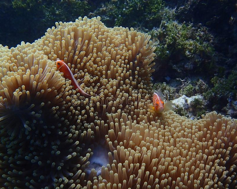 Ζευγάρι του φωτεινού πορτοκαλιού anemonefish ή clownfish στο anemone υποβρύχιο στοκ εικόνα