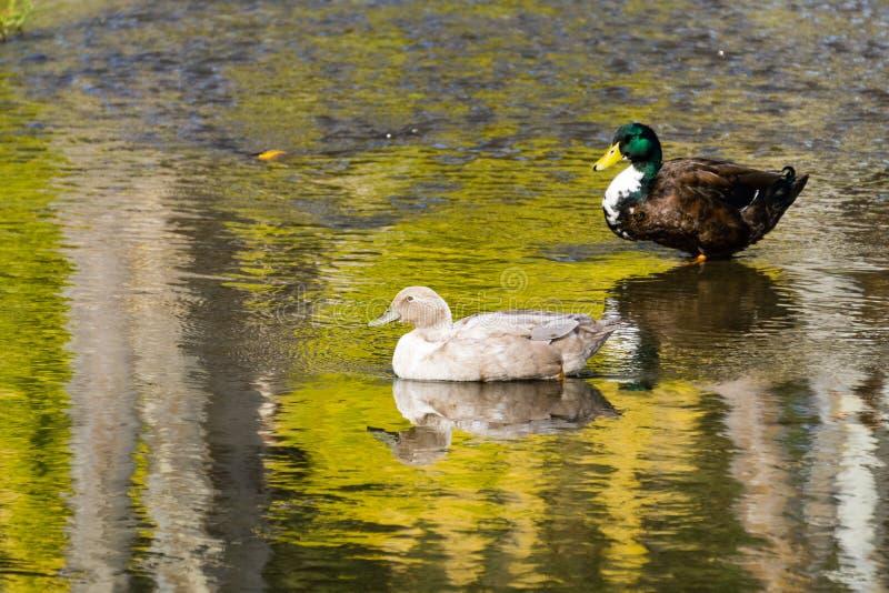 Ζευγάρι των παπιών, πάρκο Lake County Vasona, Los Gatos, περιοχή κόλπων του Σαν Φρανσίσκο, Καλιφόρνια στοκ φωτογραφία