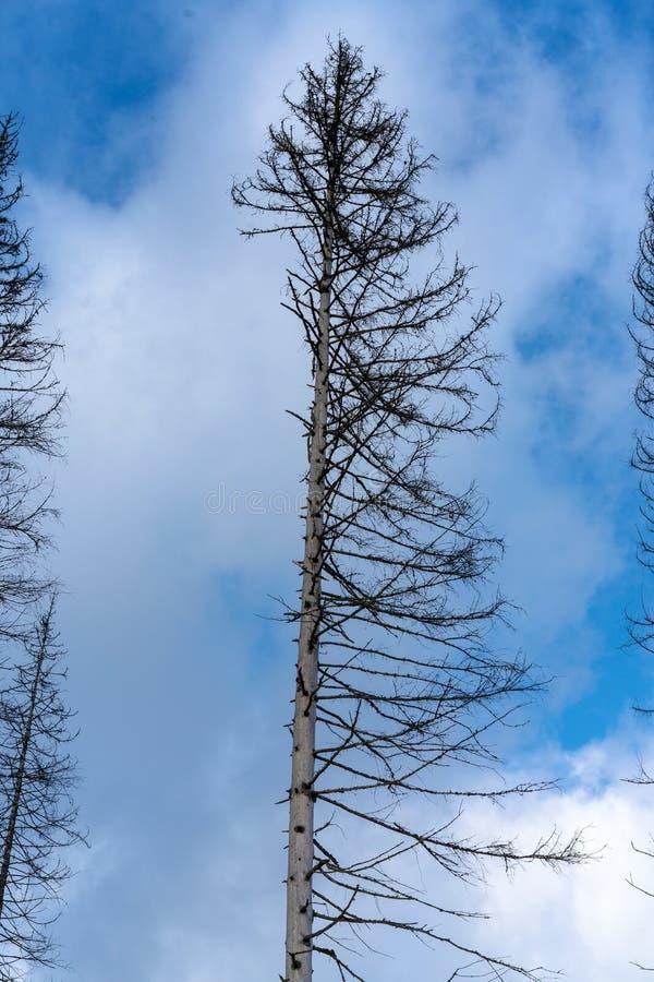 Ζημία στο δέντρο μετά από το ευρωπαϊκό κομψό typographus διεθνών ειδησεογραφικών πρακτορείων κανθάρων φλοιών στοκ φωτογραφία με δικαίωμα ελεύθερης χρήσης