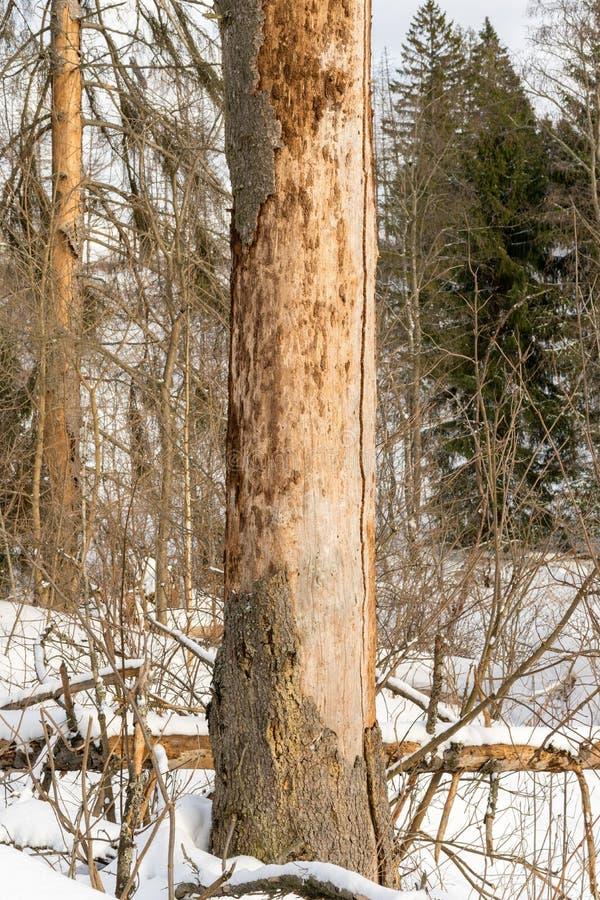 Ζημία στο δέντρο μετά από το ευρωπαϊκό κομψό typographus διεθνών ειδησεογραφικών πρακτορείων κανθάρων φλοιών στοκ εικόνα