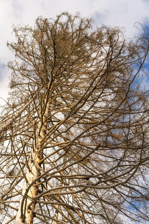 Ζημία στο δέντρο μετά από το ευρωπαϊκό κομψό typographus διεθνών ειδησεογραφικών πρακτορείων κανθάρων φλοιών στοκ εικόνες