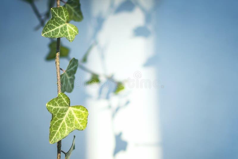 Η άμπελος του κοινού έλικα hedera κισσών με τα πράσινα φύλλα αναμμένα από τον ήλιο και τα απορρίμματα μια σκιά στο θολωμένο μπλε  στοκ εικόνα