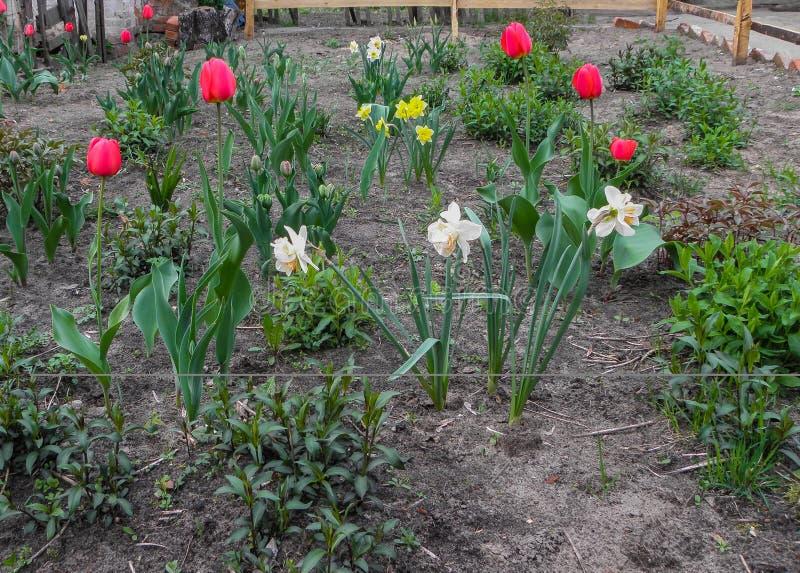 Η άνοιξη ανθίζει τις τουλίπες και daffodils στον κήπο στο χώμα στοκ φωτογραφίες