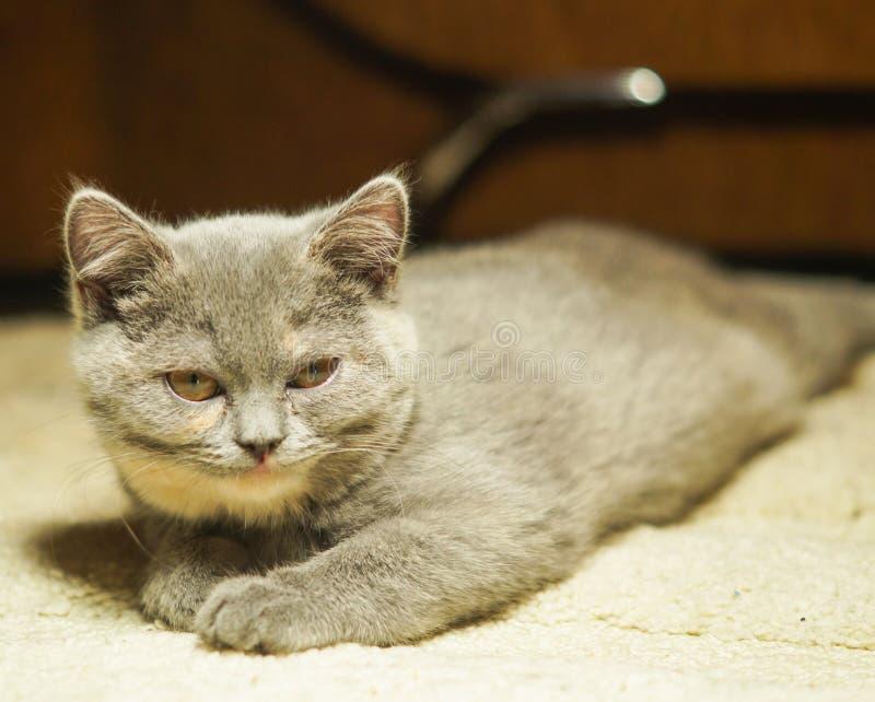 Η αστεία σκωτσέζικη γάτα βρίσκεται στο πάτωμα, η κοιλιά κάτω σε μια σειρά με το α το πρόσωπο στοκ φωτογραφίες με δικαίωμα ελεύθερης χρήσης