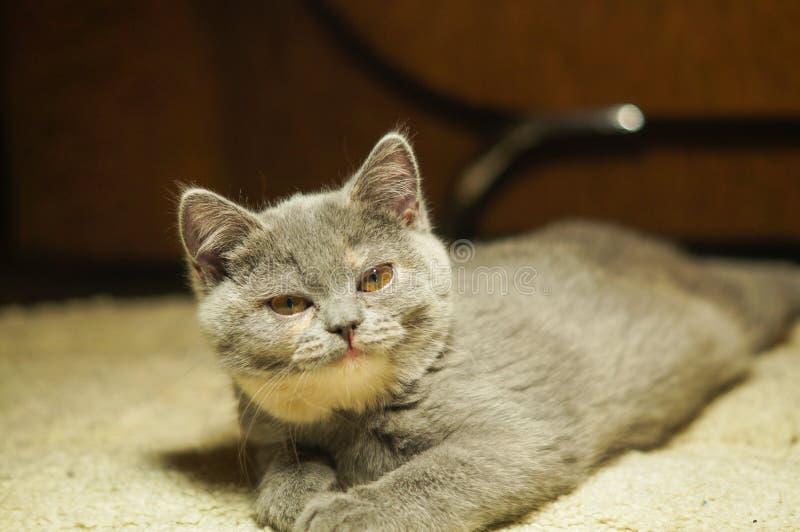 Η αστεία σκωτσέζικη γάτα βρίσκεται στο πάτωμα, η κοιλιά κάτω σε μια σειρά με το α το πρόσωπο στοκ εικόνες