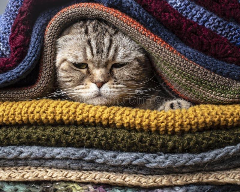 Η αστεία σκωτσέζικη πτυχή γατών προετοιμάζεται για το κρύους φθινόπωρο και το χειμώνα, που τυλίγονται και κρύβει σε έναν σωρό των στοκ εικόνες