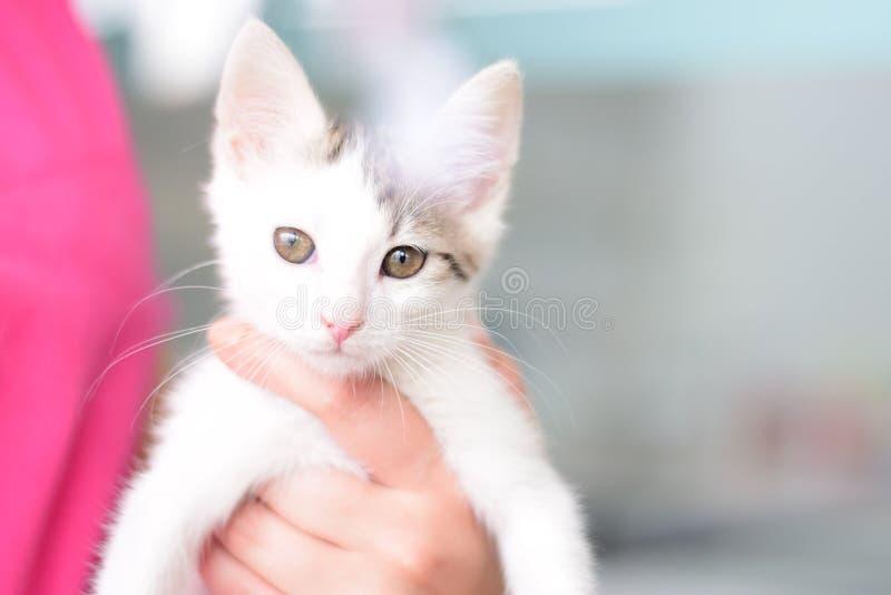Η απομονωμένη άσπρη όμορφη γάτα σε ετοιμότητα με τα μαγνητικά μάτια κρατά από έναν κτηνιατρικό βοηθό σε μια κτηνιατρική κλινική Ε στοκ εικόνα με δικαίωμα ελεύθερης χρήσης