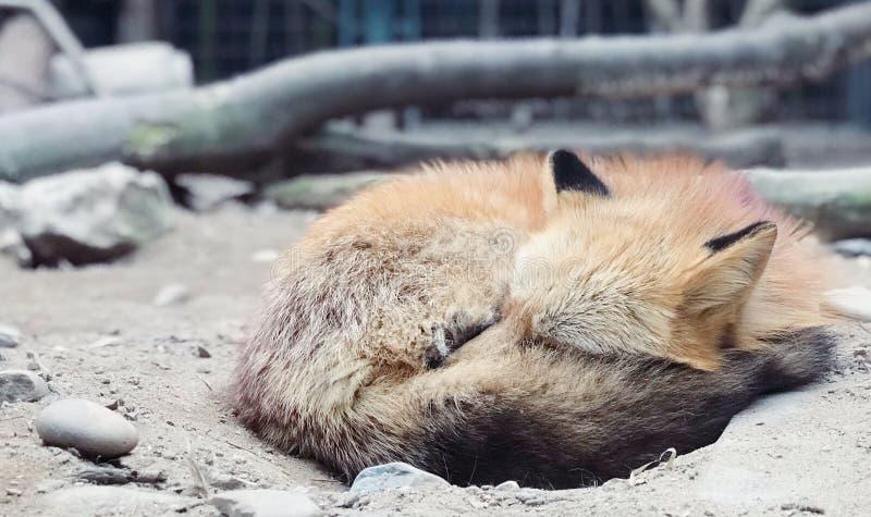 Η απομονωμένη κόκκινη αλεπού στο ζωολογικό κήπο στοκ φωτογραφία