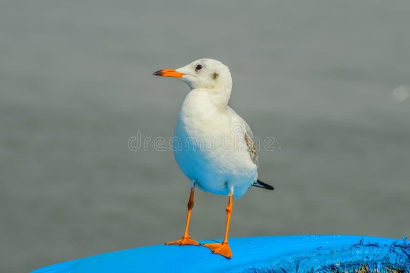 Η κινηματογράφηση σε πρώτο πλάνο όμορφο άσπρο seagull εσκαρφάλωσε σε μια βάρκα στην αραβική θάλασσα κοντά στο λιμάνι Mumbai στοκ εικόνα