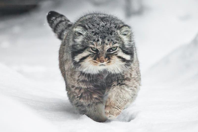 Η όμορφη αλλά αυστηρή χνουδωτή καιη άγρια γάτα manul περπατά στο δικαίωμα χιονιού σε σας το πλήρες πρόσωπο, ένα άσπρο υπόβαθρο χι στοκ εικόνες με δικαίωμα ελεύθερης χρήσης