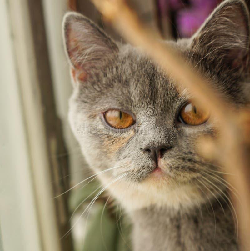 Η σκωτσέζικη γάτα με τα πορτοκαλιά μάτια εξετάζει τη κάμερα στοκ φωτογραφίες με δικαίωμα ελεύθερης χρήσης