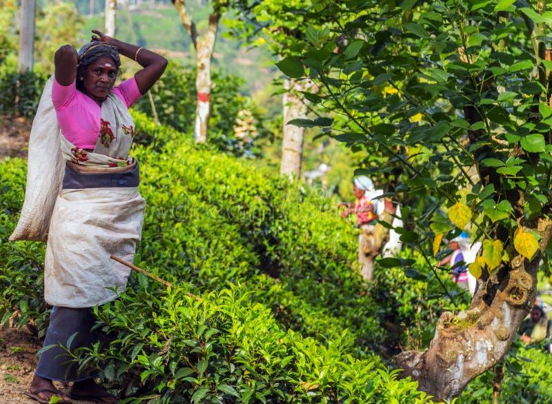 Η συλλεκτική μηχανή τσαγιού χαμογελά, φύλλα τσαγιού συγκομιδής γυναικών μαζεύοντας με το χέρι το φύλλο τσαγιού στους τομείς φυτει στοκ εικόνες