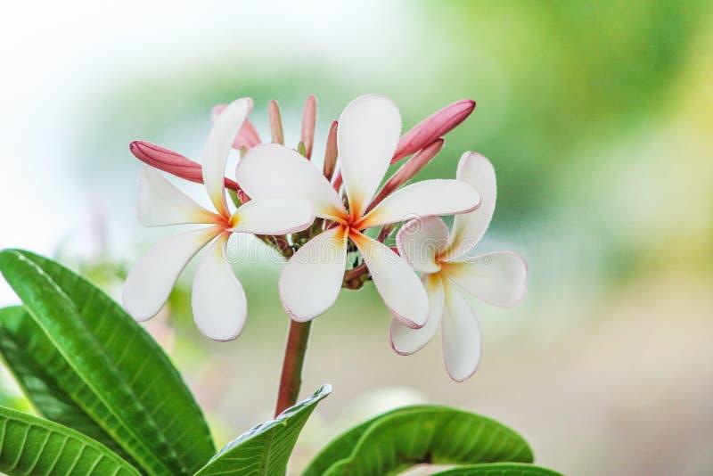 Η φύση σχεδίων του ζωηρόχρωμου rubra plumeria επανθίσεων άσπρου ανθίζει την άνθιση και το κόκκινο frangipani οφθαλμών στον κήπο στοκ εικόνα με δικαίωμα ελεύθερης χρήσης