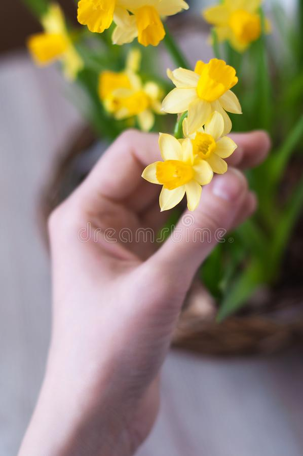 Θηλυκό χέρι με τα daffodils στοκ εικόνες