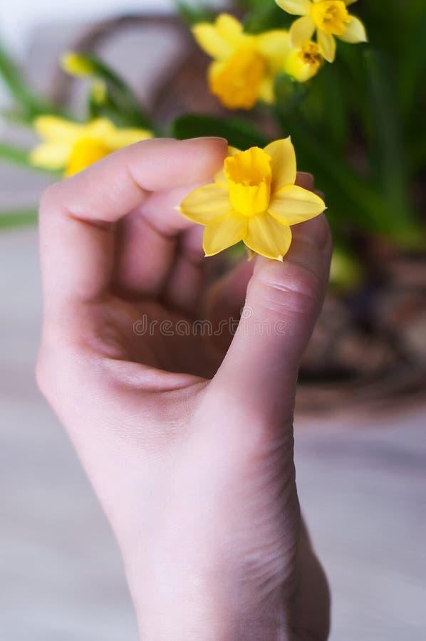 Θηλυκό χέρι με τα daffodils στοκ εικόνα με δικαίωμα ελεύθερης χρήσης