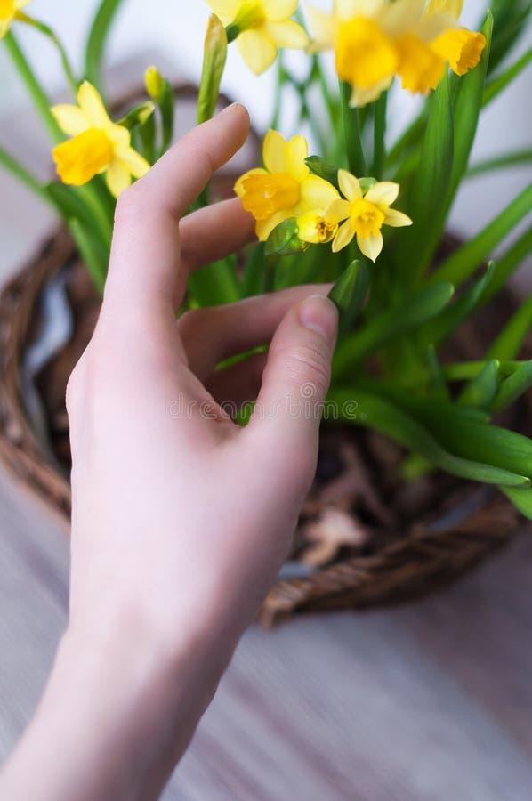 Θηλυκό χέρι με τα daffodils στοκ εικόνες με δικαίωμα ελεύθερης χρήσης