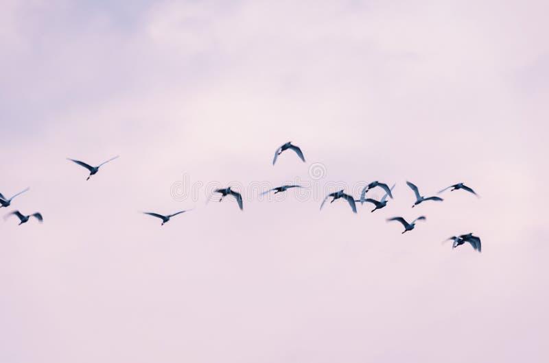 Θολωμένη φωτογραφία με τα πουλιά στην κίνηση μπλε πετώντας ερωδιός Ομάδα πετάγματος πουλιών στοκ εικόνα με δικαίωμα ελεύθερης χρήσης