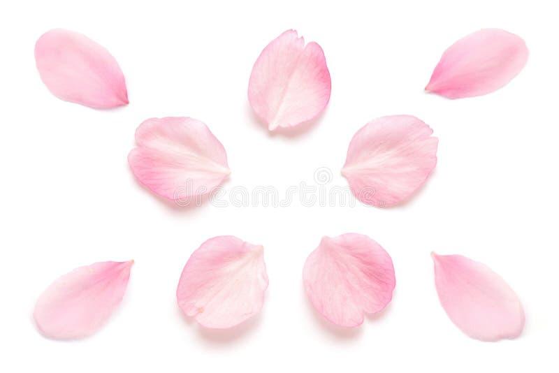 Ιαπωνικό ρόδινο πέταλο ανθών κερασιών που απομονώνεται στο άσπρο υπόβαθρο στοκ φωτογραφίες