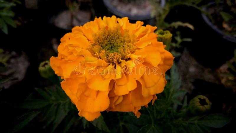 Ινδικό marigold χρυσό λουλούδι στον κήπο στοκ εικόνα με δικαίωμα ελεύθερης χρήσης