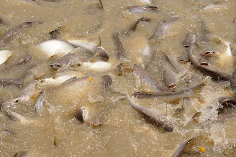 ιριδίζων καρχαρίας στοκ φωτογραφίες