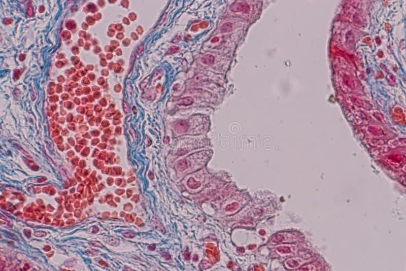 Ιστολογικός ιστός επιθηλίου δειγμάτων απλός κιονοειδής κάτω από το μικροσκόπιο στοκ φωτογραφία με δικαίωμα ελεύθερης χρήσης