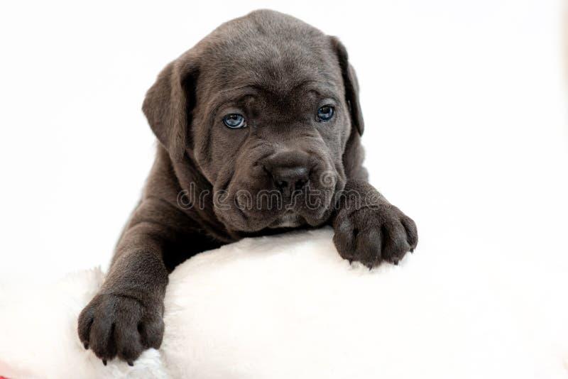 Κάλαμος Corso, γκρίζο μαλλί φυλής σκυλιών κουταβιών, που βρίσκεται σε ένα άσπρο μαξιλάρι στοκ εικόνες