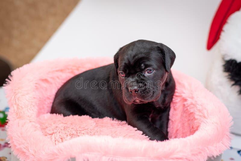 Κάλαμος Corso φυλής σκυλιών κουταβιών σε ένα ανοικτό ροζ κρεβάτι ήλιων στοκ εικόνα με δικαίωμα ελεύθερης χρήσης