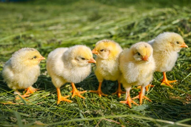 Κίτρινα κοτόπουλα σε έναν χορτοτάπητα σε ένα αγρόκτημα στοκ εικόνα με δικαίωμα ελεύθερης χρήσης