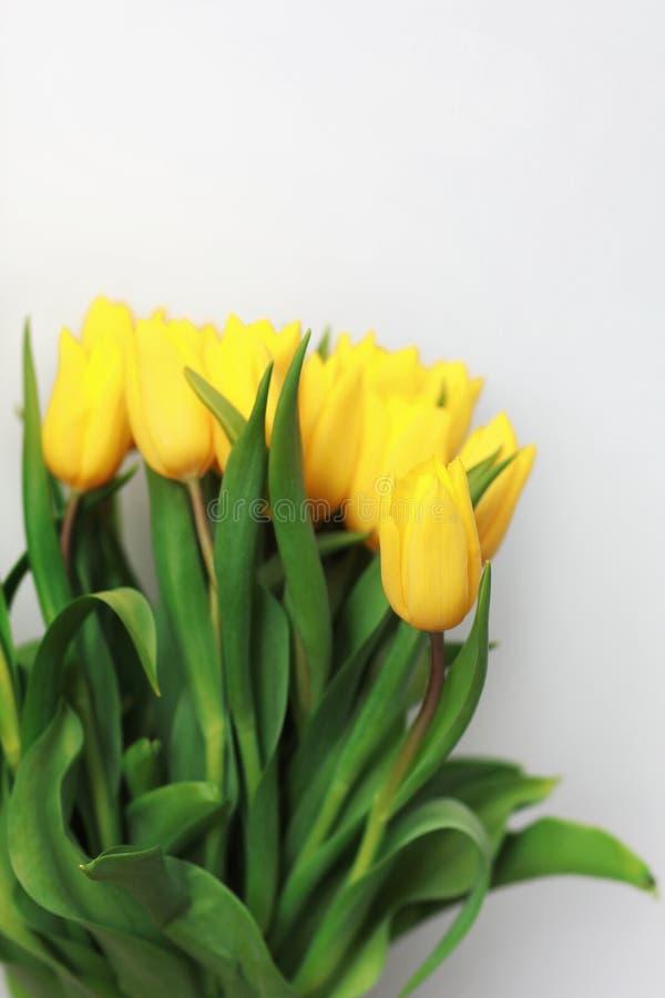 Κίτρινα λουλούδια τουλιπών που απομονώνονται στο άσπρο υπόβαθρο, για το δημιουργικές σχέδιο και τη διακόσμησή σας στοκ εικόνες